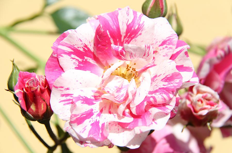 Rosen im Garten vom Gästehaus Gerlinde